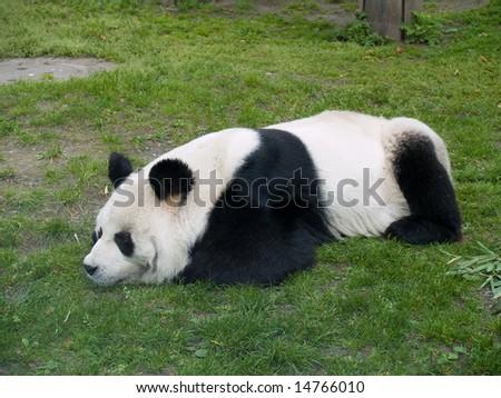 Big Panda. - stock photo