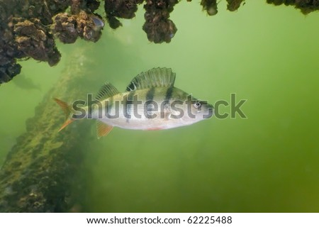 Big perch in the lake - stock photo