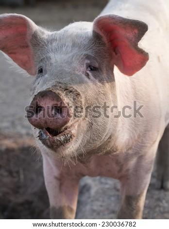 big pig closeup portrait with dirty snout and funny pink ears - stock photo