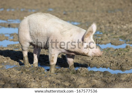 big pig on the farm  - stock photo