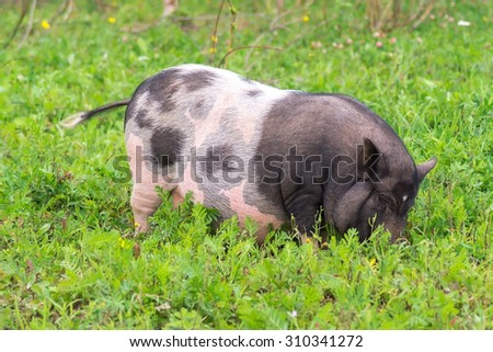 Big pig walking on the grass on the farm
