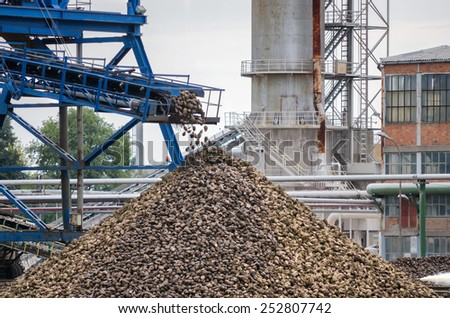 Big pile of sugar beet in sugar factory under the conveyor belt. - stock photo