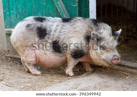 Big pink Vietnamese pot-bellied pig. - stock photo