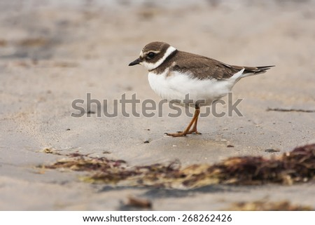 Big plover ( Charadrius hiaticula ) , at the beach - stock photo