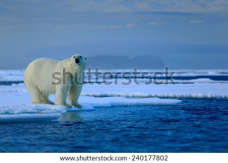 Big polar bear on drift ice edge with snow a water in Arctic Svalbard - stock photo