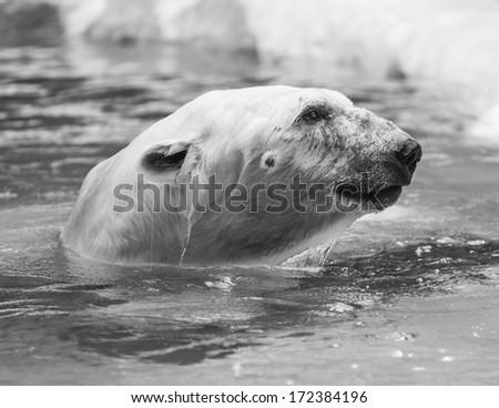 Big Polar Bear swimming in cold water