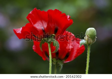 Big red corn poppies