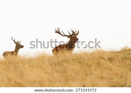 big red deer stag on top of  the hill followed by youngster ( Cervus Elaphus )