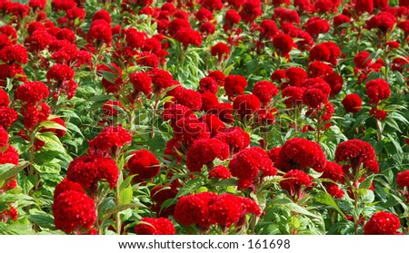 Big Red Flowers