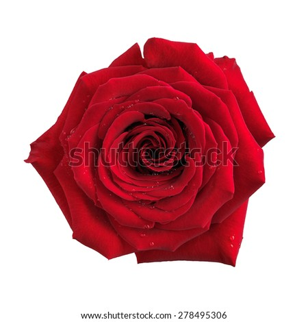 Big red rose single flower isolated on white background with clipping path - stock photo