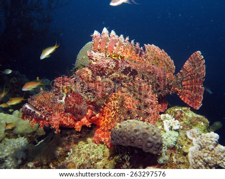 Big red scorpionfish deep on a coral reef, Dahab - stock photo
