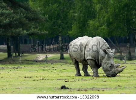 big rhinoceros grazing - stock photo