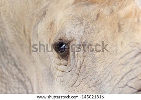Big rhinoceros live in zoos Khao Kheow. Zoom in the eye. - stock photo