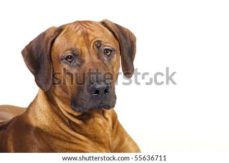 Big rhodesian ridgeback portrait - stock photo