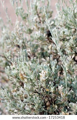 Big Sagebrush, also called Tall Sagebrush, Artemisia Tridentata of the Sunflower Family, Asteraceae, In the Central Oregon High Desert. - stock photo