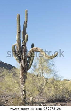 big Saguaros cactus - stock photo