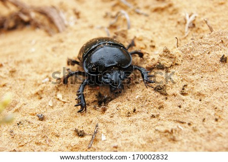 Big scarab beetle at semidesert