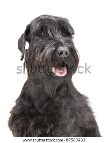 Big Schnauzer. Studio shot. Dog isolated on white background - stock photo
