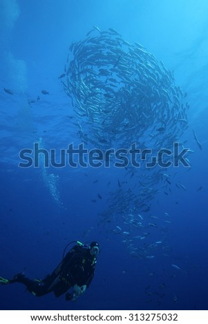 BIG SCHOOL OF JACKFISH SWIMMING AND TURN IN CLEAR BLUE WATER