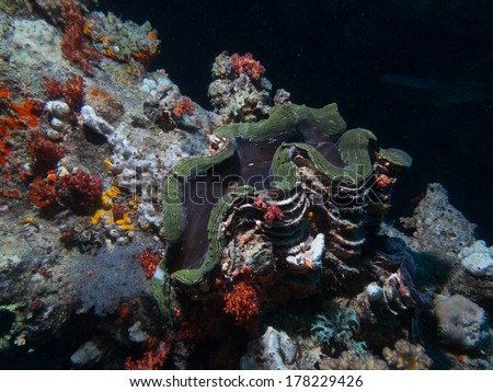 Big Sea shell tridacna clam Red Sea underwater - stock photo