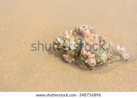 Big seashell on the sand on the beach use for background, close up - stock photo