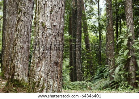 Big sequoias at the edge of a meadow - stock photo