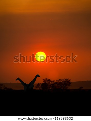 Big Setting sun with silhouettes of Giraffes and Acacia trees on Safari in Serengeti National Park - stock photo