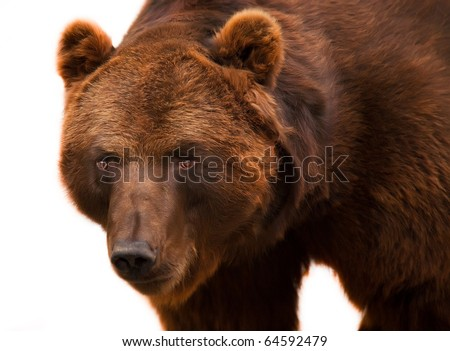 big shaggy brown grizzly bear easy costs and looks aside - stock photo