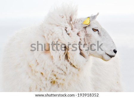 Big Sheep side view portrait close up on white background. Unusual angle,profile with head looking to the side. One of the most popular farm animals for wool and meet produce - stock photo