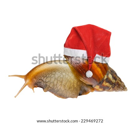 Big snail in Santa hat isolated on white background - stock photo