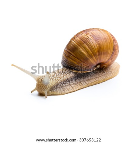 big snail isolated on white background - stock photo