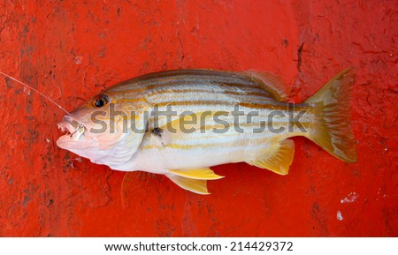 big snapper fish to obtained by fishing. - stock photo