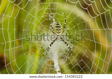 big spider on web  - stock photo