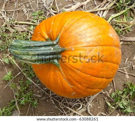 big stem small pumpkin - stock photo