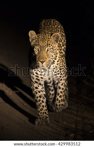 Big strong male leopard walking in nature at night in darkness - stock photo