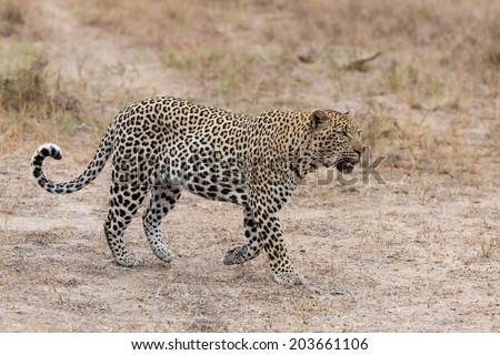 Big strong male leopard walking in nature to mark his territory