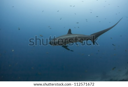 Big thresher shark in the blue water dive in malapascua in philippines