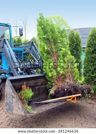 Big thuja or cypress trees for replanting in tractor front shovel      - stock photo
