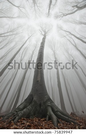 big tree in a misty forest reaching for light - stock photo