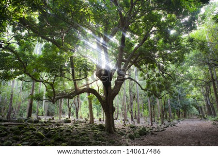 Big tree in Black River Gorges national forest on Mauritius island, sunlight - stock photo