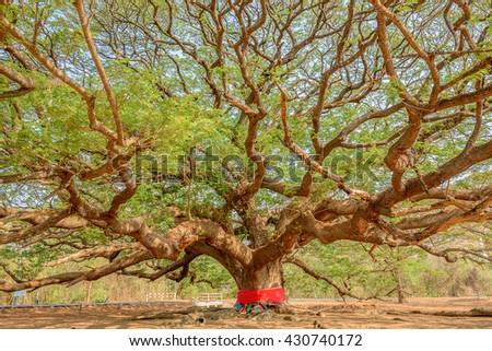 Big tree in Kanchanaburi,Thailand - stock photo
