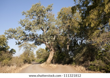 Big Tree in Road - stock photo