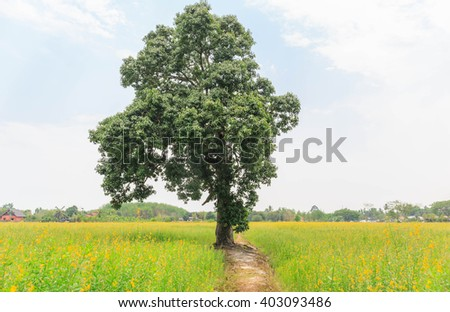 big tree in the yellow Sunhemp flowers field nature