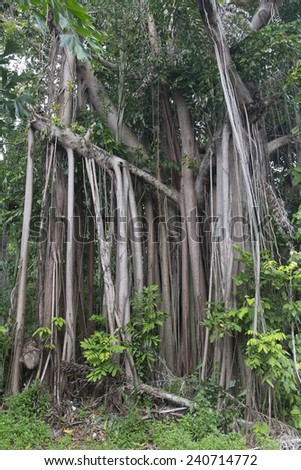 Big tree in tropical forest - stock photo