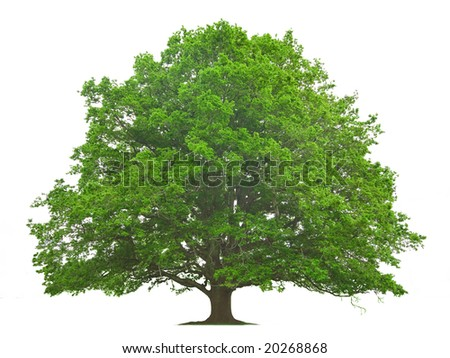 Big Tree isolated against a white background - stock photo