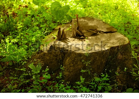 Big tree stump in forest