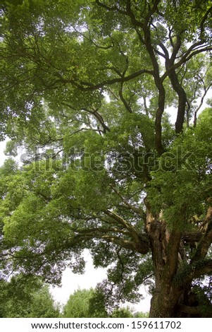 big tree with green leaves - stock photo