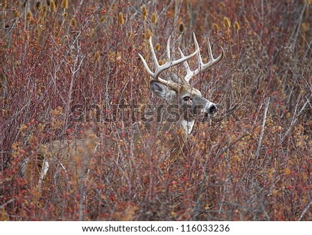 Big Trophy White Tail Buck deer stag in thick brush, autumn fall color leaves; midwest midwestern big game deer hunting season - stock photo