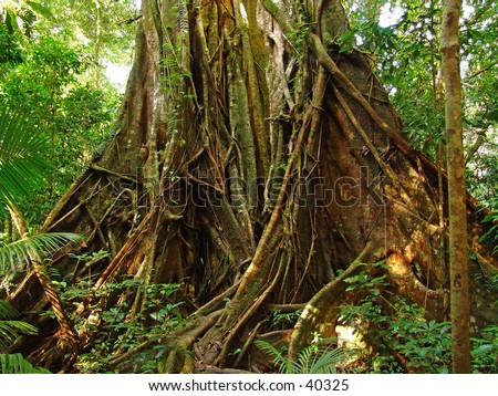 big tropical rainforest hardwood tree - stock photo