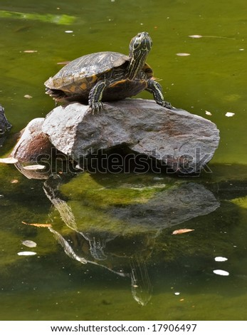 Big turtle standing on a rock in the middle of lake - stock photo